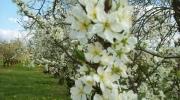 Pruniers fleurs