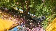 Récolte prunes